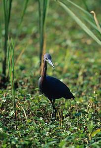 Little Blue Heron-103
