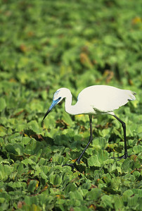 Little Blue Heron-107