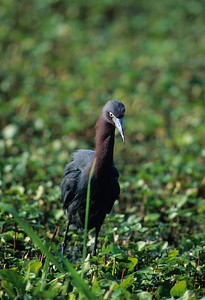 Little Blue Heron-104