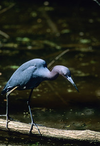 Little Blue Heron-124