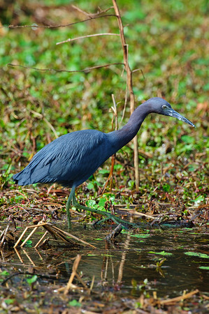 Little Blue Heron-110
