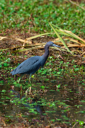 Little Blue Heron-111