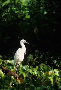 Little Blue Heron-134