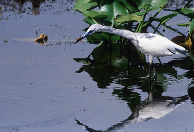Little Blue Heron-127