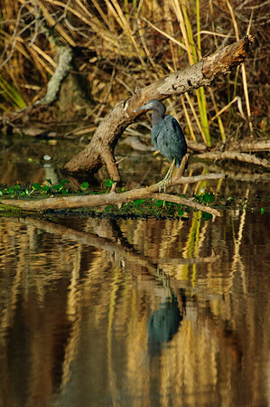 Little Blue Heron-118