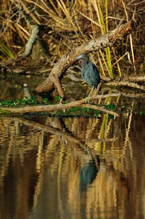Little Blue Heron-118