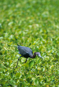 Little Blue Heron-106