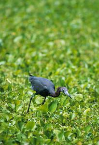 Little Blue Heron-106