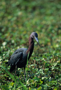 Little Blue Heron-102