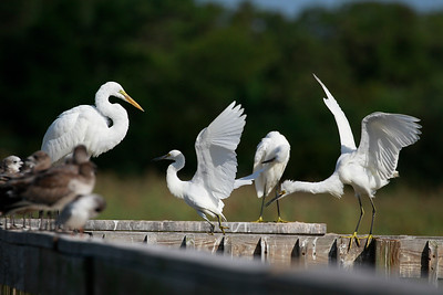 Egret gathering