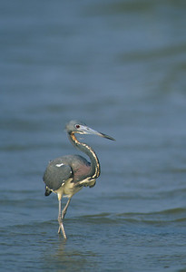 Lousiana Heron-151