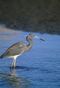 Lousiana Heron-132