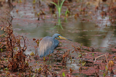 Lousiana Heron-197