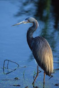 Lousiana Heron-101