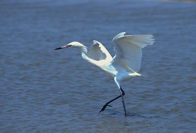 Robin Henry_Reddish Egret-101