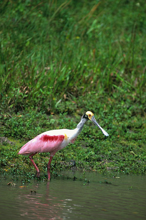Roseate Spoonbill-102, Houston, TX