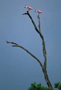 Roseate Spoonbill-112