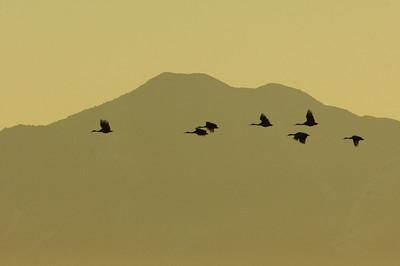 Sandhill Crane-393