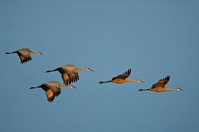 Sandhill Crane-220