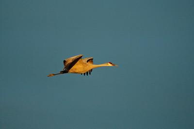Sandhill Crane-208