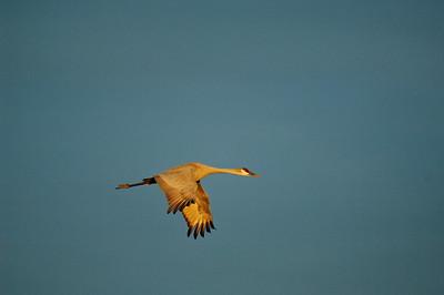 Sandhill Crane-209