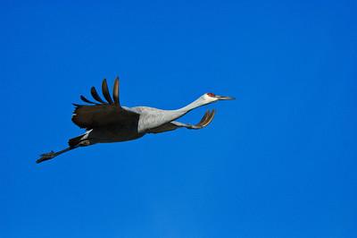 Sandhill Crane-159