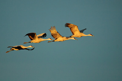 Sandhill Crane-210-2