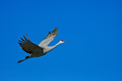 Sandhill Crane-158