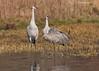 Pair of Sandhill Cranes.