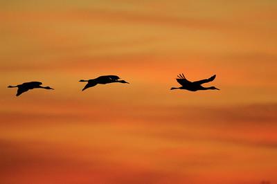 Sandhill Crane-364