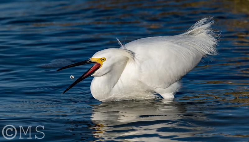 Snowy Egret Image Gallery
