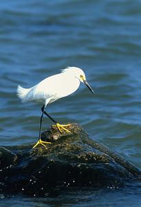Snowy Egret-103