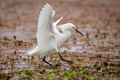 Snowy Egret-143