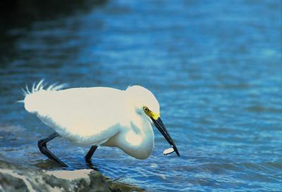 Snowy Egret-107