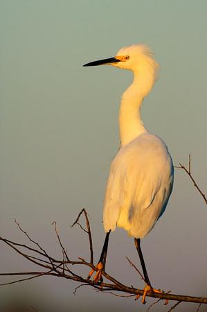 Snowy Egret-133
