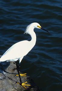Snowy Egret-106