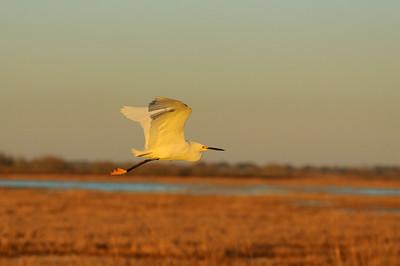 Snowy Egret-130