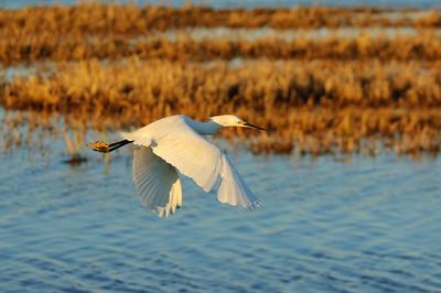 Snowy Egret-111