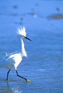 Snowy Egret-101