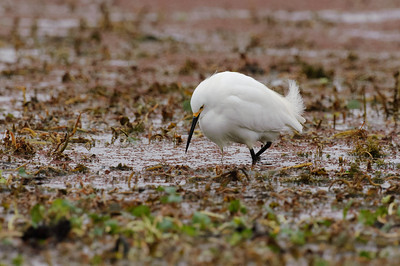 Snowy Egret-148
