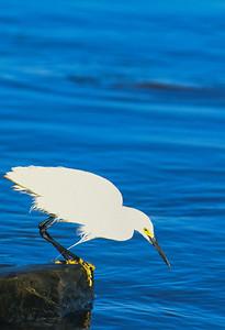 Snowy Egret-104