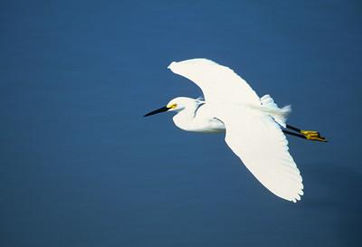 Snowy Egret-102