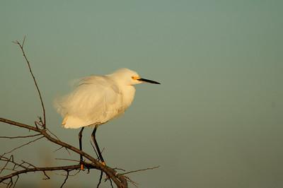 Snowy Egret-113