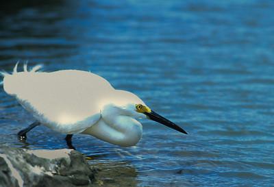 Snowy Egret-105