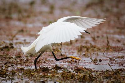 Snowy Egret-141