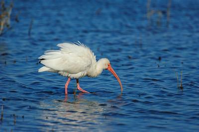White Ibis-110