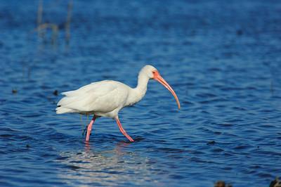 White Ibis-112
