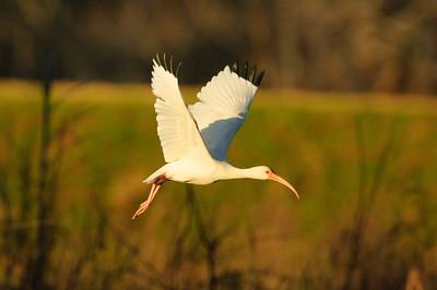 White Ibis-129