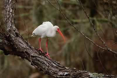 White Ibis-148