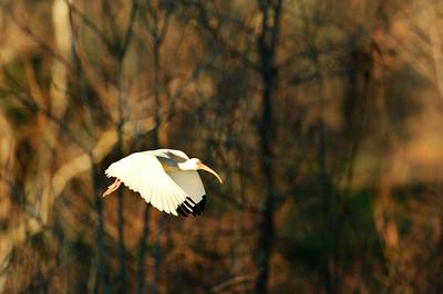 White Ibis-126